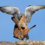 Accoppiamento falco grillaio (Foto Giuseppe Re)